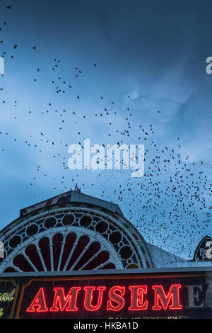 Aberystwyth Wales UK, Friday   27 January 2017   UK Weather: Starling Murmurations in Aberystwyth - In a grey overcast - Stock Photo