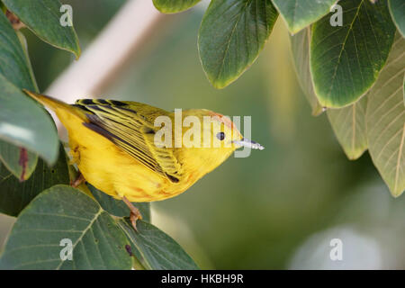 Mangrove warbler (Setophaga petechia aureola) male, Puerto Ayora, Santa Cruz, Galapagos Islands - Stock Photo