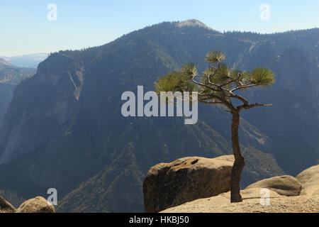 A young Whitebark Pine (Pinus albicaulis) tree growing at the edge of a cliff. Photographed at Upper Yosemite Fall, - Stock Photo