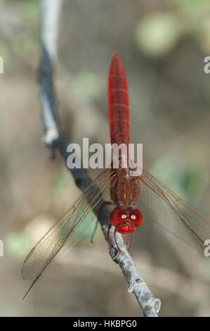 Scarlet darter (Crocothemis erythraea). Male. Oiseaux du Djoudj National Park. Saint-Louis. Senegal. - Stock Photo