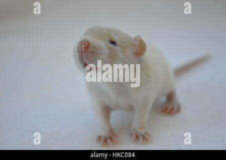 Baby rat on white background - Stock Photo