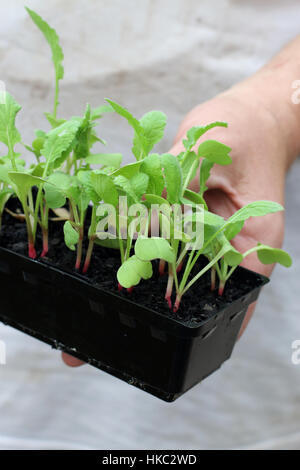 Hand holding Raphanus raphanistrum or known as Radish seedlings ready to be planted in the ground - Stock Photo