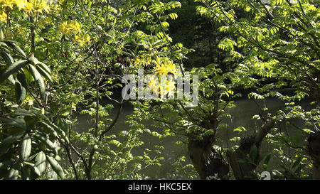 Beautiful yellow Azalea pontica flowers species in in botanic garden - Stock Photo