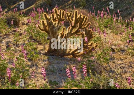 Buckhorn cholla cactus and Arizona lupines blooming in spring in Anza Borrego Desert State Park, Sonoran Desert, - Stock Photo