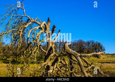 Twisted Broken Branches On Oak Tree - Stock Photo