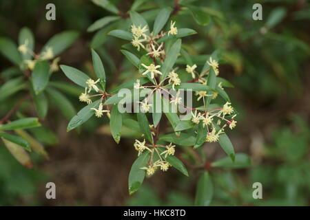 Drimys lanceolata (Mountain Pepper) at Clyne gardens, Swansea, Wales, UK. - Stock Photo