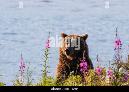 Grizzly at Allison Point near Valdez and Dayville Road, Southcentral Alaska, USA - Stock Photo