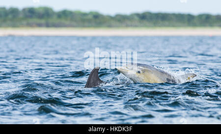 Common bottlenose dolphin (Tursiops truncatus) in bay, Chanonry Point, Moray Firth, Inverness, Scotland, United - Stock Photo