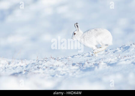 Mountain hare (Lepus timidus) in the snow, Cairngorms National Park, Scottish Highlands, Scotland, United Kingdom - Stock Photo