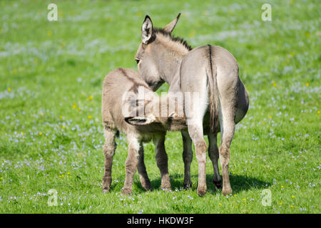 Domestic donkeys (Equus asinus asinus), mare suckling foal, Germany - Stock Photo