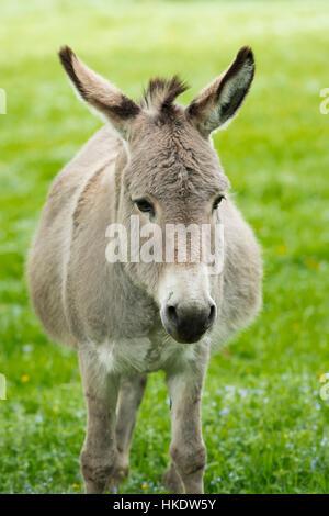 Domestic donkey (Equus asinus asinus), portrait, Germany - Stock Photo