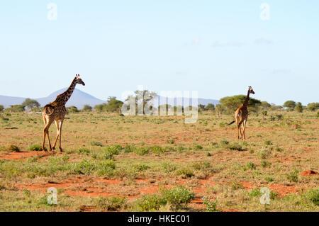 Two giraffes walking through the savanna of Tsavo West Park in Kenya - Stock Photo