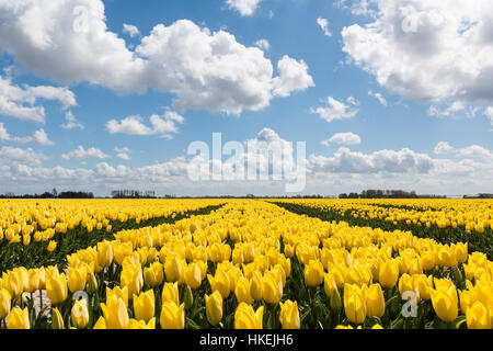 Tulip field with yellow tulips in full bloom on a sunny day in the Netherlands. The blue sky above is beautiful - Stock Photo