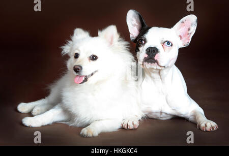 Pomeranian dog and frenc bulldog together in studio - Stock Photo