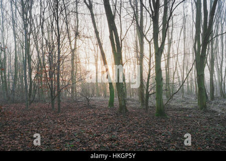 Winter sun filters through a woodlands tall trees on a misty morning. - Stock Photo