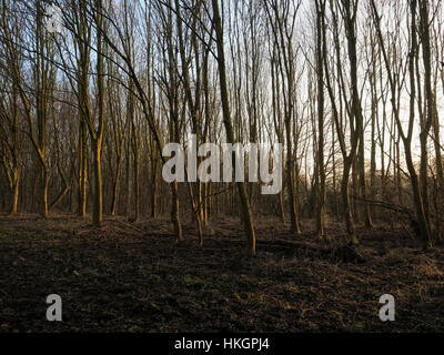 Weak sunlight filters through tall bare trees. - Stock Photo