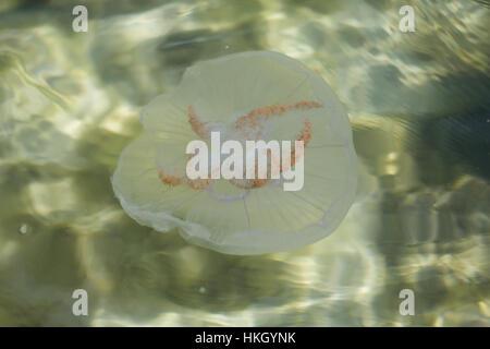 jellyfish underwater. reflection, aquatic animal, invertebrate, water. - Stock Photo