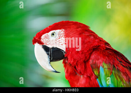 Portrait of red macaw parrot against jungle. Parrot head on green background. Nature, wildlife and tropical rainforest - Stock Photo