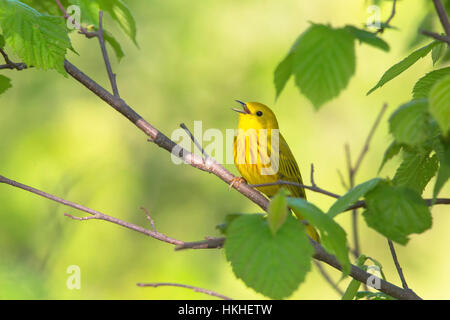 Yellow Warbler - Male - Stock Photo