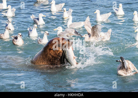 A sea lion swims into the fish weir area and grabs a Pink salmon (Oncorhynchus gorbuscha), Allison Point, outside - Stock Photo