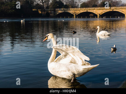 Majestic swans on The Serpentine lake in Hyde Park, London, UK - Stock Photo
