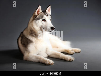 Siberian husky dog portrait in studio with grey background - Stock Photo