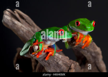 Two Red Eye frog in studio with dark background - Stock Photo