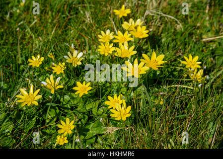 Lesser Celandine, Ranunculus ficaria, wildflower, Dumfries & Galloway, Scotland - Stock Photo