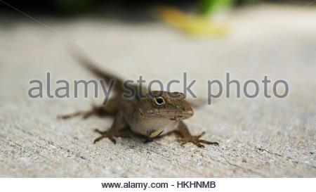 Small lizard on pavement - Stock Photo