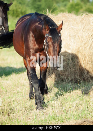 rearing and plying stallions in field - Stock Photo