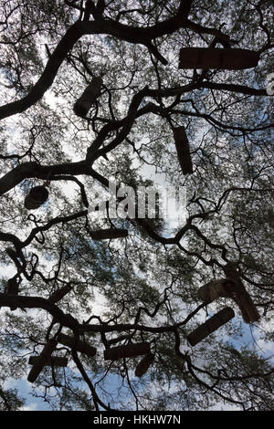 Beehives on acacia tree, Arba Minch, Southern Nations, Nationalities, and Peoples' Region, Ethiopia - Stock Photo