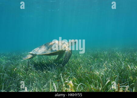 Underwater green sea turtle swims over grassy seabed, south Pacific ocean, lagoon of Grand Terre island in New Caledonia - Stock Photo
