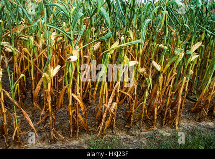 Agriculture - Sideview of a stand of distressed and dying mid growth grain corn caused by excessive drought conditions - Stock Photo