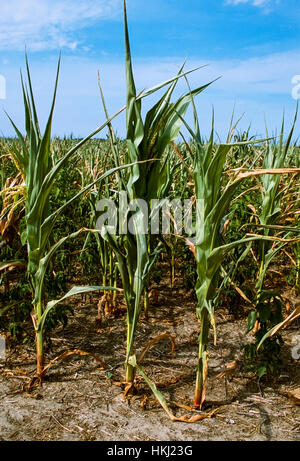 Agriculture - Mid growth grain corn crop severely damaged by drought / Sussux County, Delaware, USA. - Stock Photo