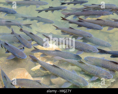 Soro Brook Carp. The waterfall fishes live in waterfall national park, Chanthaburi province, Thailand. - Stock Photo