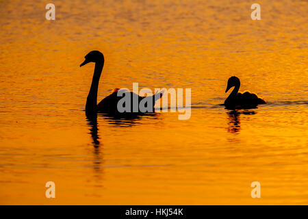 Mute swan (Cygnus olor), adult and cygnet swimming on lake at sunset, Suffolk, England, United Kingdom - Stock Photo