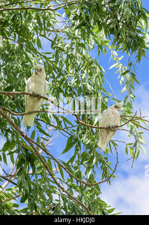 Two Little Corellas perched high in a eucalyptus tree at Lake Monger, Perth, Western Australia - Stock Photo