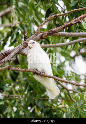 A Little Corella perched on a tree branch at Lake Monger, Perth, Western Australia - Stock Photo