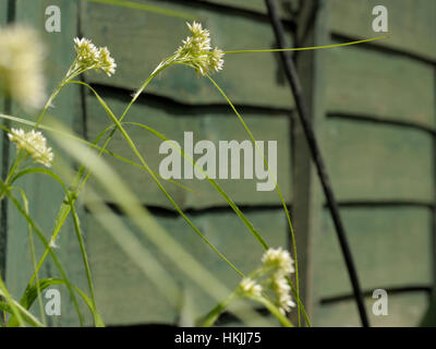 Snow-white Wood-rush, Luzula nivea - Stock Photo