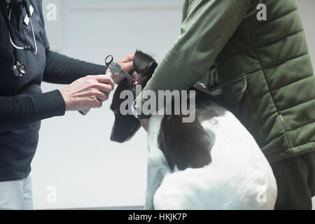 Veterinarian doing a check-up on a dog,Breisach,Baden-Württemberg,Germany - Stock Photo