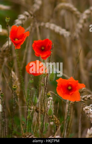 Corn Poppies in a Corn field,Overton,Hampshire - Stock Photo
