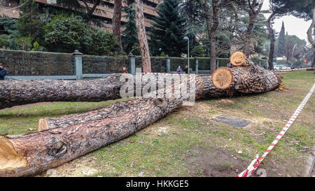 Madrid, Spain. 29th, January, 2017. Centennial tree falls on Arturo Soria street in the city of Madrid. Poor management - Stock Photo