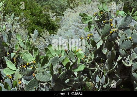 Prickly pear cactus on Salina, Aeolian Islands - Stock Photo