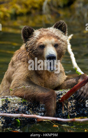 Grizzly bear female playing with a dead tree in the water, along Pacific coast in Glendale Cove, Knight Inlet, British - Stock Photo