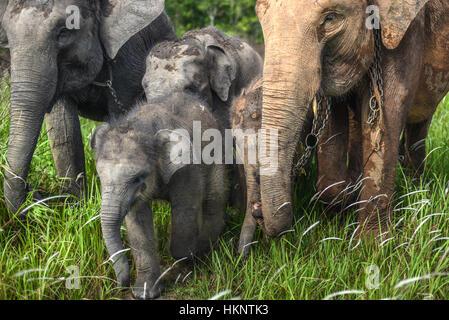 A herd of sumatran elephants walking on grassland. © Reynold Sumayku - Stock Photo