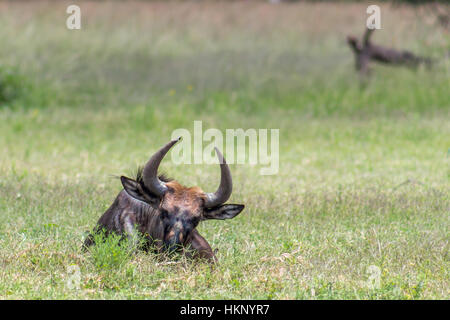 Blue wildebeest (Connochaetes taurinus) lying down on the Savannah grass
