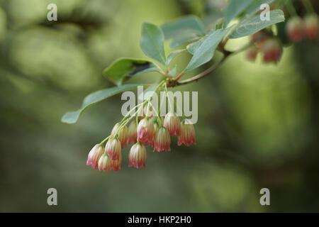 Enkianthus campanulatus (Red-vein Enkianthus) - Stock Photo