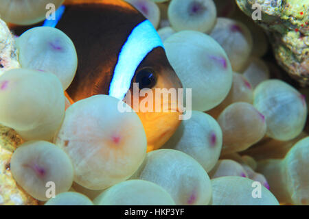 Red Sea anemonefish (Amphiprion bicinctus) underwater in the tropical reef of the Red Sea - Stock Photo