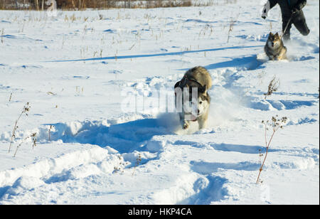 A man runs with Husky and wolfdog on a leash in the snow. - Stock Photo