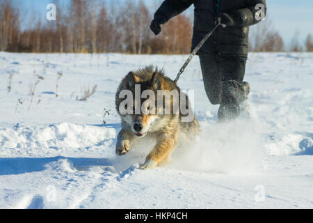 man runs with wolfdog on  leash in the snow - Stock Photo